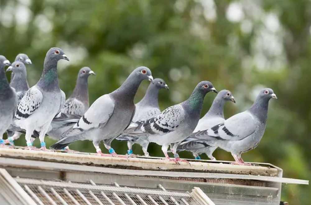 Prix d2pigeonnage Hunawihr