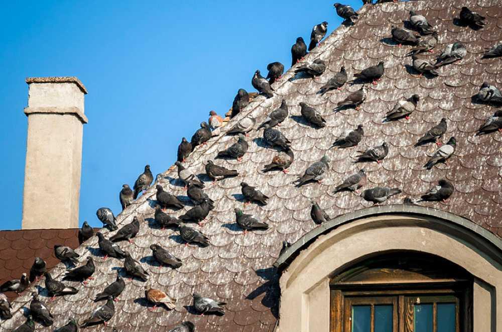 Se débarrasser des pigeons Mothern