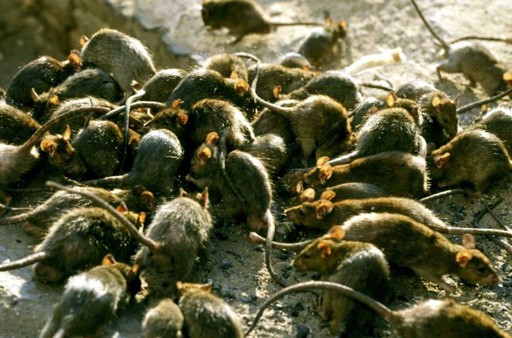 Dératisation de rats Mitzach