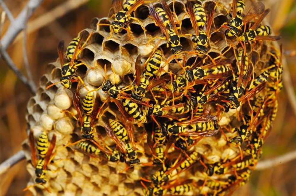 destruction nid de guepes tarif Munwiller