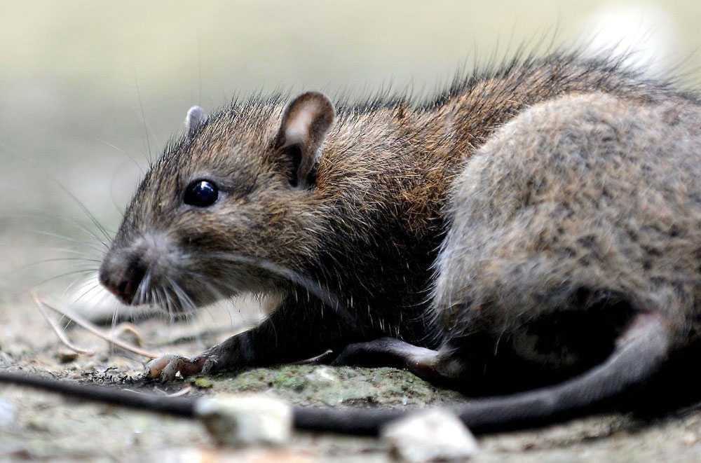 Extermination des rats et souris Bust