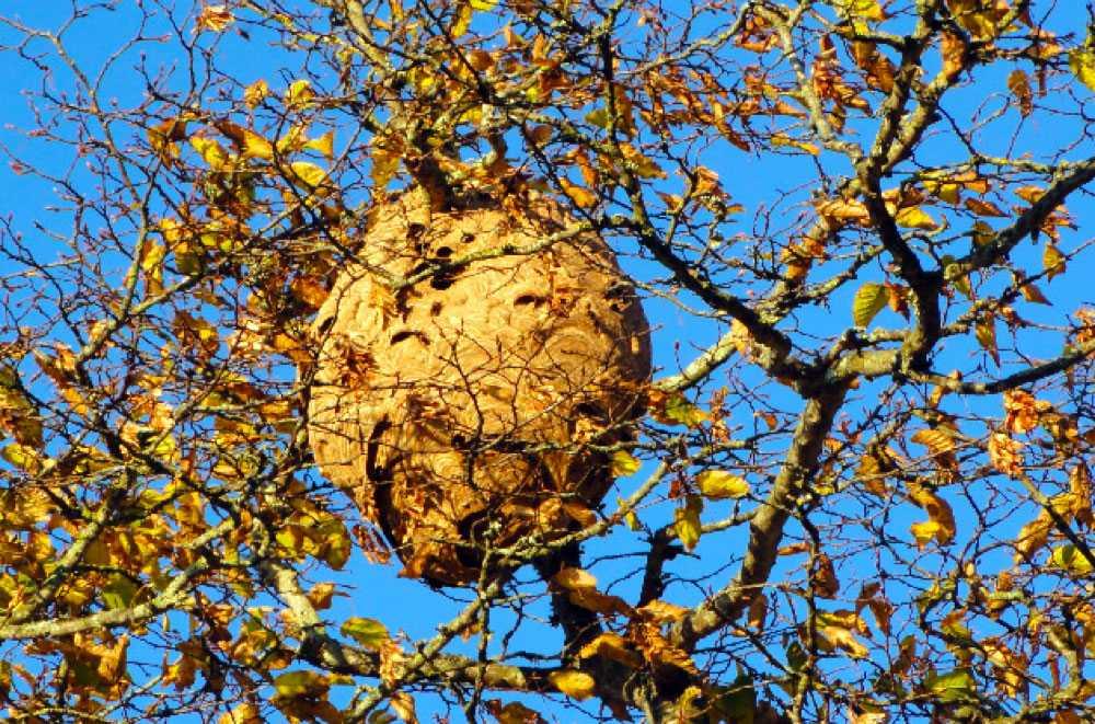 nid de guêpes frelons Seppois-le-Haut